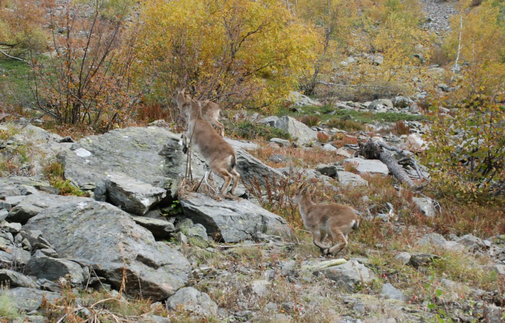 Reintroducción de la cabra pirenaica en la Val d'Aran