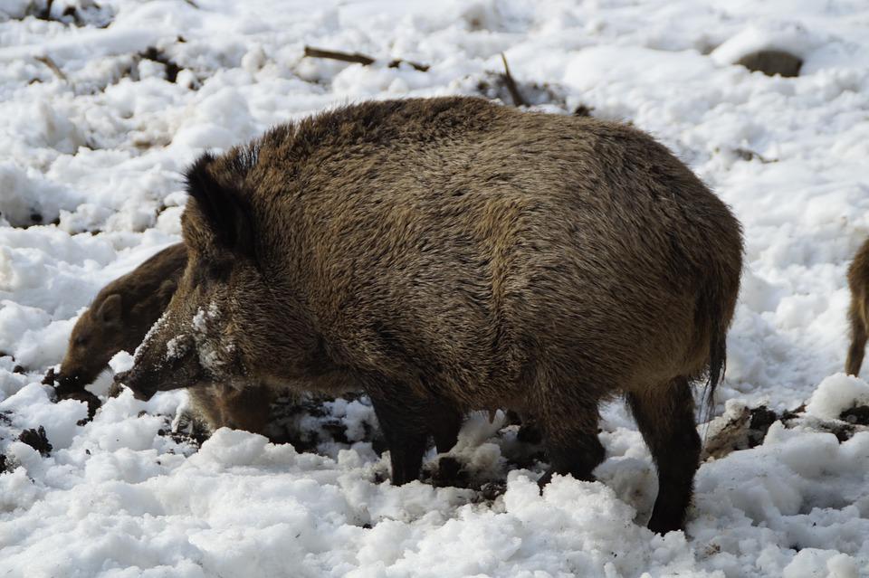 Abiertas las inscripciones para el «Curso de sanidad e higiene de carne silvestre de caza» del 24 de septiembre