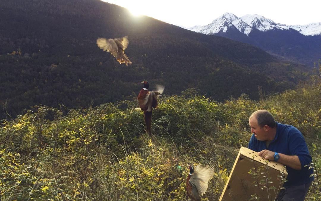 La Societat de Caça e Pesca Val d'Aran también repoblará con faisanes