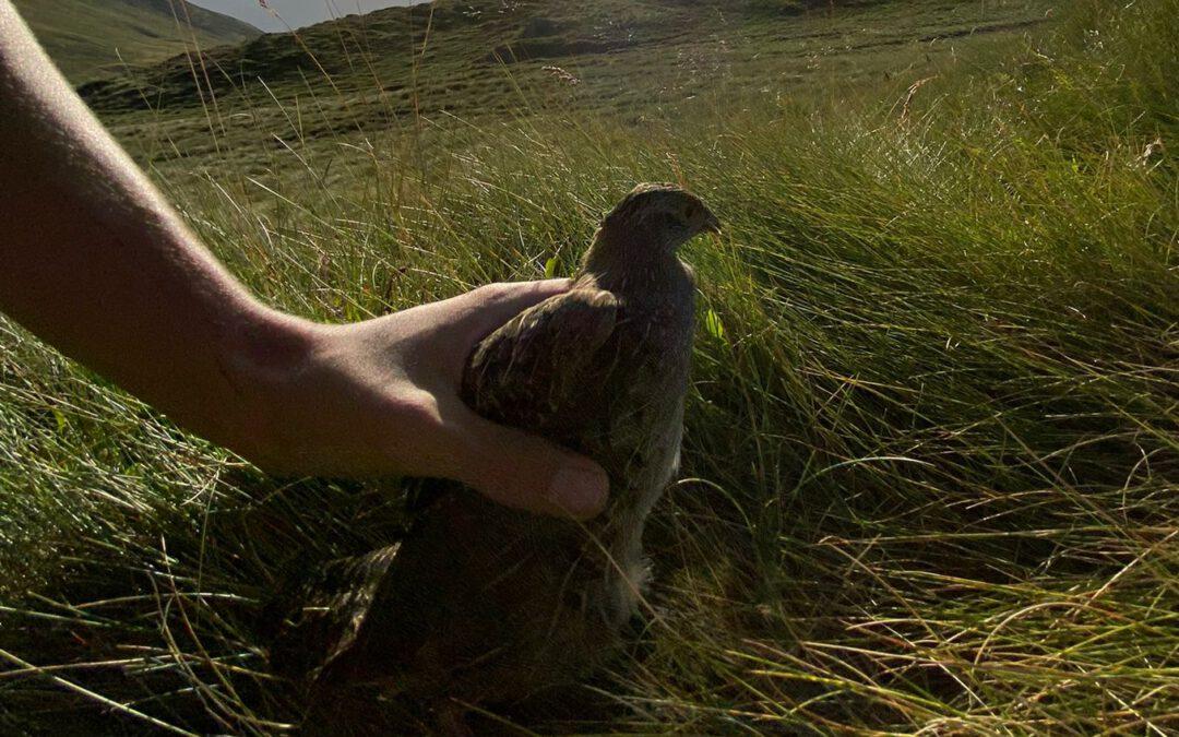 Repoblación de la perdiz pardilla en las montañas de la Val d'Aran